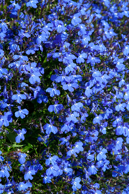 Lobelia Erinus Blue Star Alan Buckingham