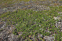 Zwergbirke, Zwerg-Birke, Birke, Niederliegender Wuchs oberhalb der Baumgrenze, Betula nana, Dwarf Birch