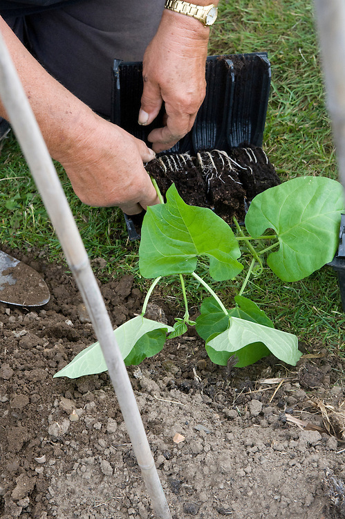Planting out runner bean seedlings, mid June.