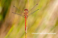 06666-00510 Autumn Meadowhawk (Sympetrum vicinum) male in wetland Marion Co. IL