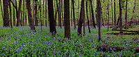 Virginia Bluebells (Mertensia virginica) carpet the forest floor in spring in a nature preserve woods in Will County, Illinois