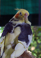 A Cockatiel with a light yellow body, black and white on the wings, and a bright yellow head and red cheeks. The cocatiel was a pet and shared a huge cage with a few other similiar birds at a private residence in Thailand