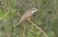 Yellow-billed Cuckoo (Coccyzus americanus), adult perched, Rio Grande Valley, South Texas, Texas, USA