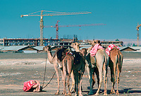 Man bowing to Mecca to pray while holding the reins of his camels in Dubai, United Arab Emirates.  The old traditional camels contrast with the new modern building construction and cranes.