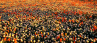 906500003 panoramic of Field of Flowers California Poppies Eschscholtzia californica and Desert Dandelion Malacothrix glabrata Lancaster Poppy Preserve, Antelope Valley, California.