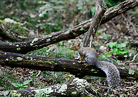 USA, Virginia, Shenandoah National Park, squirrel in forest