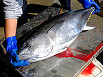 """A tuna caught by fisherman Kanji Nishi is weighed in at 15-kg at Ashibe Port, Iki Island, Nagasaki Prefecture, Japan on Thursday 02 April 2009. While most of Japan's tuna is caught by large vessels using nets, Nishi is among just a few hundred fishermen nationwide who practice """"ippon-zuri"""", or rod and line fishing, to catch tuna."""