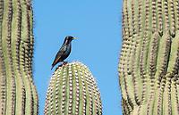 European Starling, Sturnus vulgaris, perches on a Saguaro cactus, Carnegiea gigantea, in the Desert Botanical Garden, Phoenix, Arizona