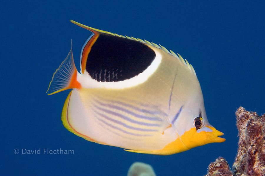 Saddleback butterflyfish, Chaetodon ephippium, reach nine inches in length and feed on coral polyps, sponges, invertebrates and algae.  Hawaii.