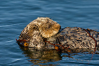 Southern Sea Otter (Enhydra lutris nereis) wrapped in kelp.  Central California Coast.  Wrapping in kelp helps keep the otter from drifting off  with the tide/currents while resting.