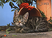 Carl, ANIMALS, photos(SWLA1963,#A#) Katzen, gatos