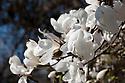 Star magnolia (Magnolia stellata 'Rosea'), late March.