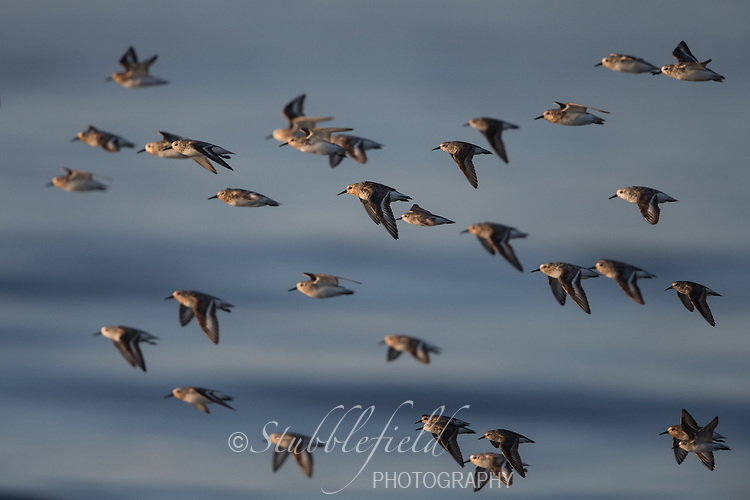 Sanderling (Calidris alba), males and females in breeding plumage in flight over the ocean at Nickerson Beach Park in Lido, New York.