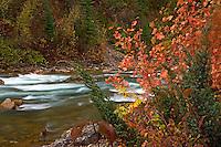 Fall colors, red mountan maple, Greys River, Salt River Range, Alpine, Wyoming