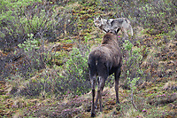 Cow moose stands off with a wolf whose pack just attacked and killed her young calf. Denali National park, Alaska.