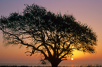 Live oak at sunrise with San Antonio Bay in background, Aransas National Wildlife Refuge, Texas, AGPix_0282.