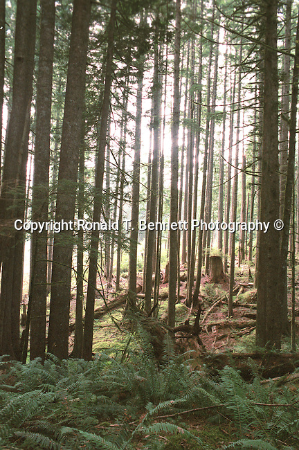 Forest of Douglas Fir trees with ferns for ground cover Oregon, Forest of Douglas Fir trees with sunlight shinning through Oregon, forest, woods, Douglas fir, fir trees, Oregon, Pacific Ocean, Plains, woods, mountains, rain forest, desert, rain, Pacific Northwest, Pacific Ocean, Fine Art Photography by Ron Bennett, Fine Art, Fine Art photography, Art Photography, Copyright RonBennettPhotography.com ©