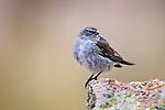Plumbeous Sierra-Finch (Phrygilus unicolor) male, Ciudad de Piedra, Andes, western Bolivia