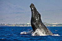 humpback whale, Megaptera novaeangliae, breaching - chin breach, Hawaii, USA, Pacific Ocean