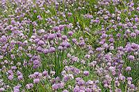 Schnittlauch, Schnitt-Lauch, Allium schoenoprasum, Chives, Ciboulette