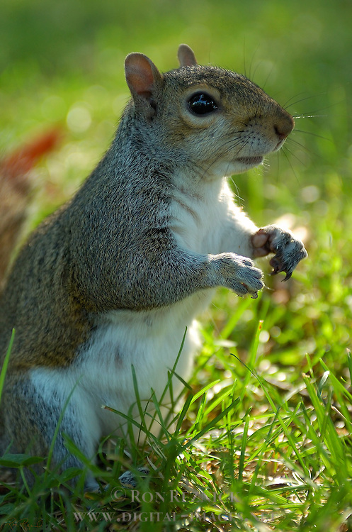 Squirrel, US Capitol, Washington DC