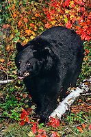 Black Bear in eastern forest, fall.