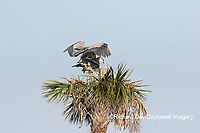 00684-05302 Great Blue Herons (Ardea herodias) copulating at nest site.  Viera Wetlands Brevard County FL