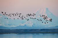 Migratory Brant at Izembek NWR with Isanotski stratovolcano in the background. Izembek NWR, Alaska.