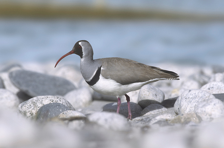Ibisbill - Ibidorhyncha struthersii Iconic wading bird. Restricted to fast-flowing, braided Himalayan rivers with broad shingle and bouilder margins and islands. Breeds in high Himalayas, winters in along foothill rivers.