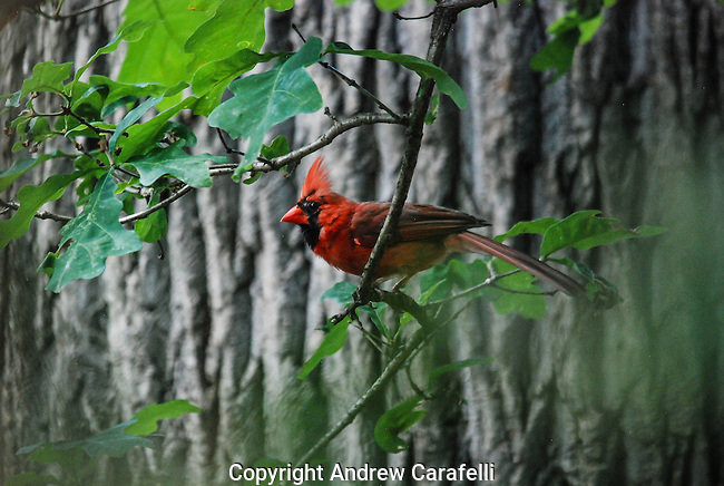The bright red plumage and crown of a Northern Cardinal are unmistakeable in the trees of Maryland.