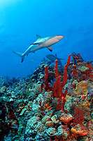 Caribbean reef shark, Carcharhinus perezii, on coral reef with orange elephant ear sponges, Agelas clathrodes, Bahamas (W. Atlantic) (do)