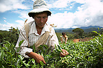 Tea pickers working in near the town of Chimate in the Yungas region of Bolivia.