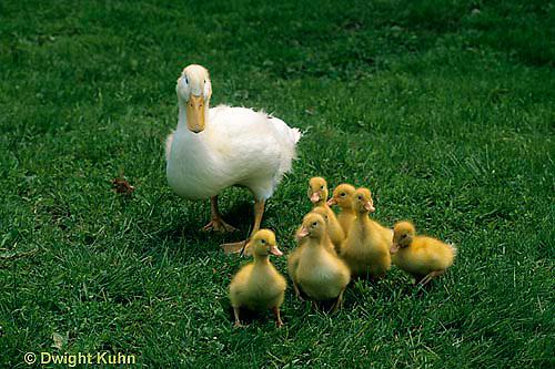 DG12-030x  Pekin Duck - ten day old ducklings with mother