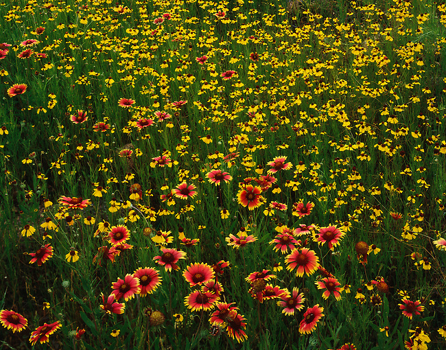 Coreopsis; Indian blankets; Charons Garden Wilderness Area; Oklahoma