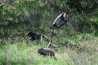Black Bear Cubs, Roosevelt Junction, Yellowstone National Park