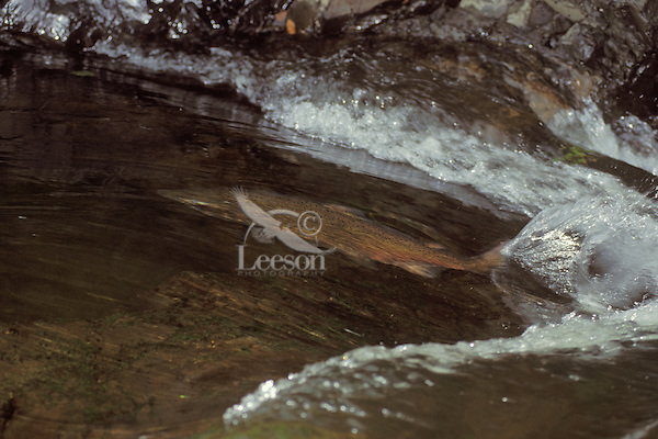 Chinook or king salmon (Oncorhynchus tshawytscha) swimming upstream in river on spawning migration.  Pacific Northwest.  Fall.