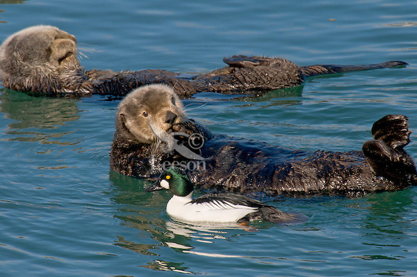Alaskan or Northern Sea Otter (Enhydra lutris) with Common Goldeneye drake (Bucephala clangula).  Alaska.  This goldeneye worked this sheltered cove where 10-30 sea otters came to raft during mid-day, feeding on their poop.  Being that the sea otter feed extensively on molusks, crabs and other marine life I'm sure this was a rich diet for this duck.