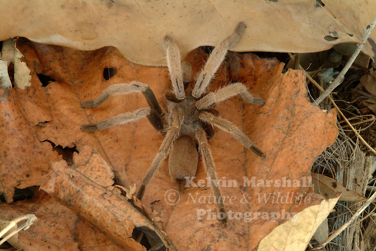 """The Australian Tarantula  (Selenocosmia  crassipes), also known as, the Barking spider, Bird-eating spider or Whistling spider, is a species of tarantula native to North Queensland, Australia.The Eastern tarantula has powerful long venomous fangs and can grow up to 6 centimetres (2.4 in) long with a leg span of 16 centimetres (6.3 in) or larger than the palm of a man's hand. It is recognized as the largest spider in Australia, Due to the hissing sound the spider makes, it has acquired the nickname """"Barking spider"""".  They make a whistling sound if they are approached and feel threatened, hence the name """"Whistling spider""""."""