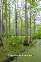 63895-14605 Bald Cypress trees (Taxodium distichum) Heron Pond Little Black Slough, Johnson Co. IL