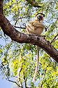 Verreaux's Sifaka (Propithecus verreauxi) sitting in tree, Kirindy Forest, Western Madagascar. October. IUCN vulnerable Species