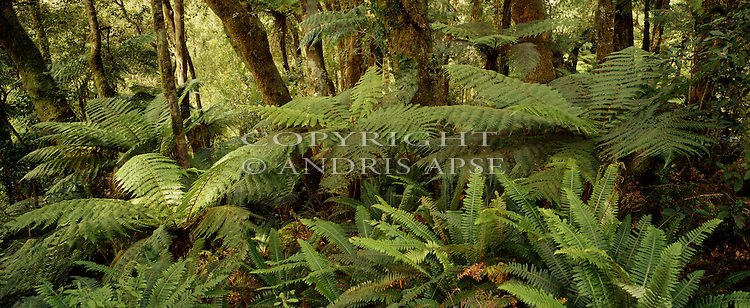 Forest interior. Breaksea Sound.  Fiordland National Park. New Zealand.