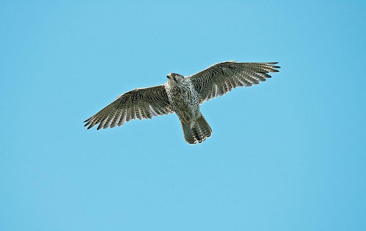Gyr Falcon - Falco rusticolus