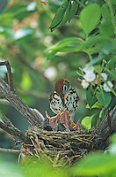 Wood Thrush, at the nest feeding hungry chicks, Medford, New Jersey