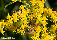 "1210-0907  Camouflaged Ambush Bug (Phymata spp.) Adult on Goldenrod Hunting a Honeybee (Apis mellifera) ""Virginia""  © David Kuhn/Dwight Kuhn Photography"