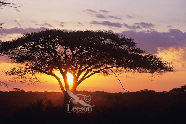Acacia Tree, Serengeti National Park, Tanzania.