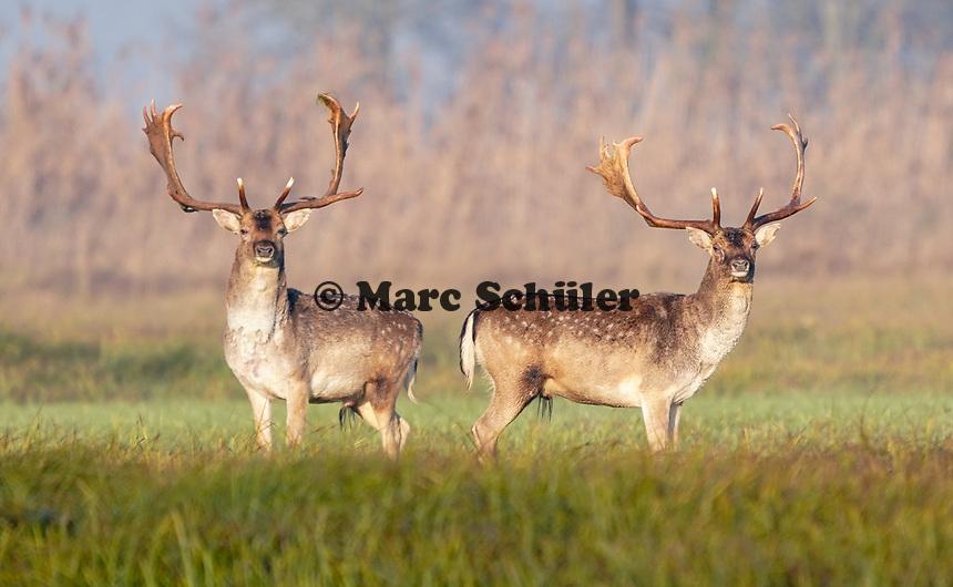 Mörfelden-Walldorf 19.11.2019: Wildschwein- und Dammwildjagd<br /> Hirsche auf den Mönchswiesen am Mönchbruch<br /> Foto: Vollformat/Marc Schüler, Schäfergasse 5, 65428 R'eim, Fon 0151/11654988, Bankverbindung KSKGG BLZ. 50852553 , KTO. 16003352. Alle Honorare zzgl. 7% MwSt.