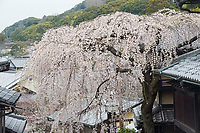 Japan, Kyoto. Kiyomizu-dera Buddhist Temple. Cherry blossoms.