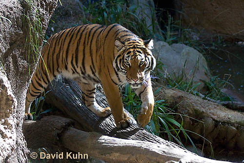 0328-1003  Malayan Tiger, Panthera tigris malayensis  © David Kuhn/Dwight Kuhn Photography.