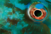 nr0664-D. eye of parrotfish (Scarus sp.). Belize, Caribbean Sea.<br /> Photo Copyright &copy; Brandon Cole. All rights reserved worldwide.  www.brandoncole.com