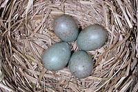 Wacholderdrossel, Ei, Eier, Gelege im Nest, Wacholder-Drossel, Turdus pilaris, fieldfare